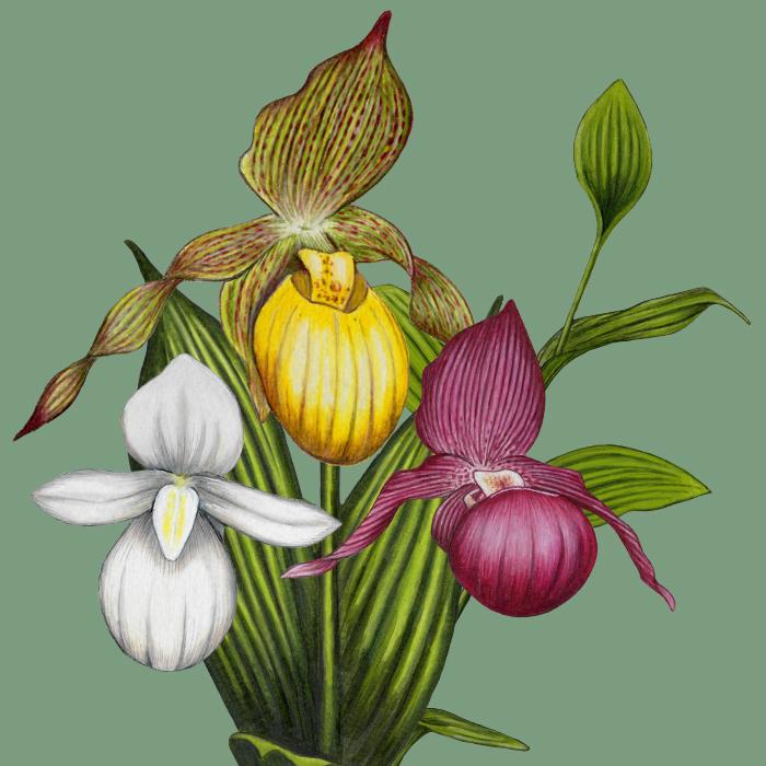 Winter Hardy Garden Orchids For Your Back Garden Garden Orchid
